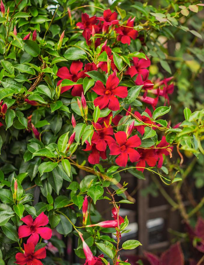 Trockenkünstler im Garten Mandevilla Dipladenia schöne Blumen braucht ein Klettergerüst