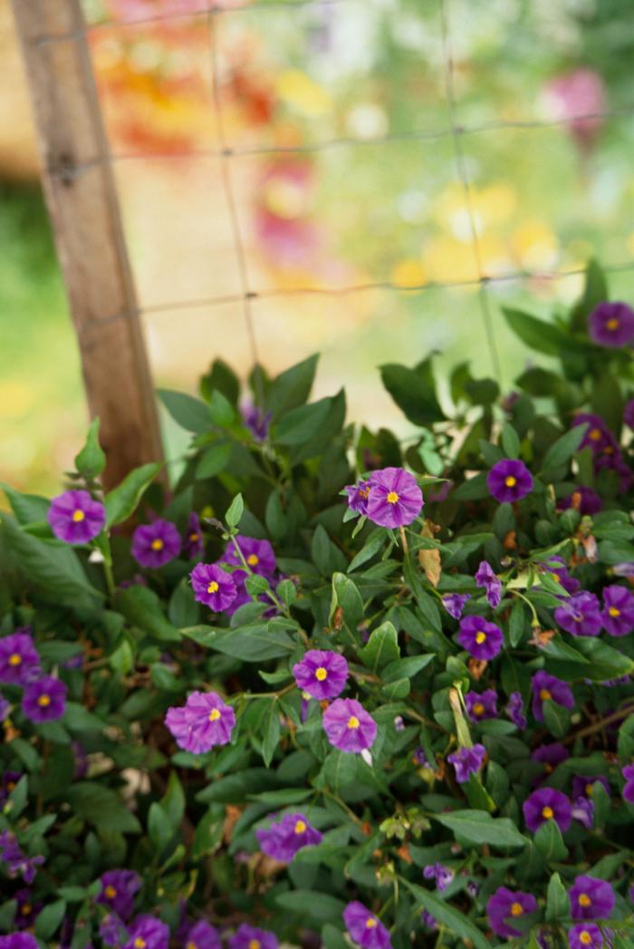 Trockener Künstler im Garten Nachtschatten Solanum gut als Bodendecker