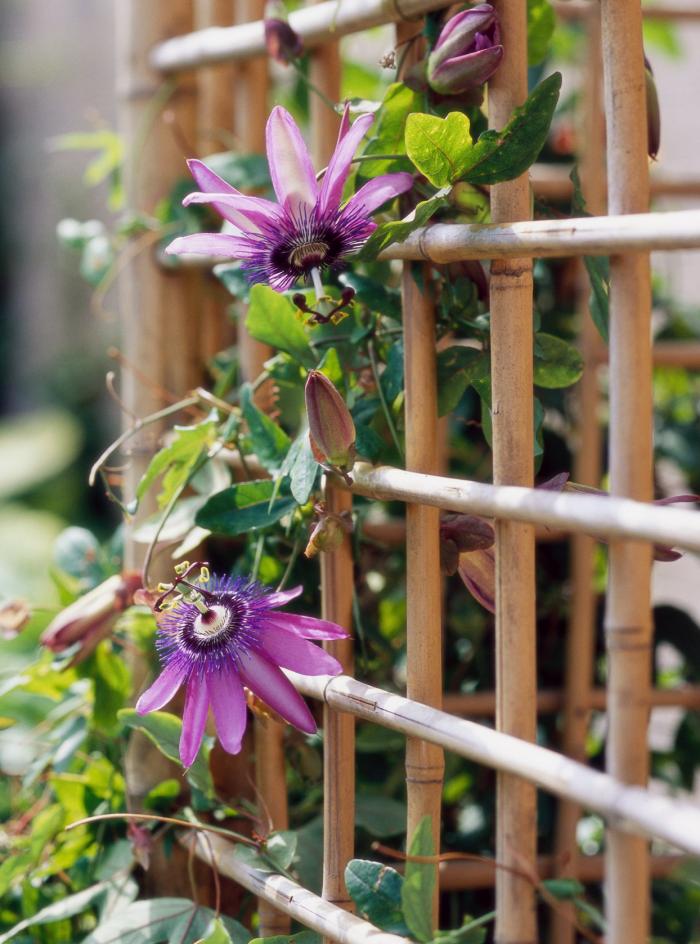 Trockenkünstler im Garten Passionsblume blüht einzigartig schön