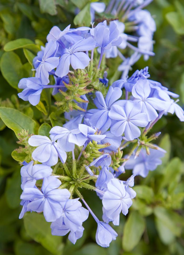 Für trockene Künstler im Garten sind himmelblaue Plumbago-Blüten sehr attraktiv für Schmetterlinge