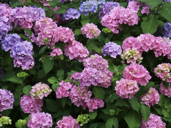 Wann blühen Hortensien Gartenpflanzen richtig pflegen