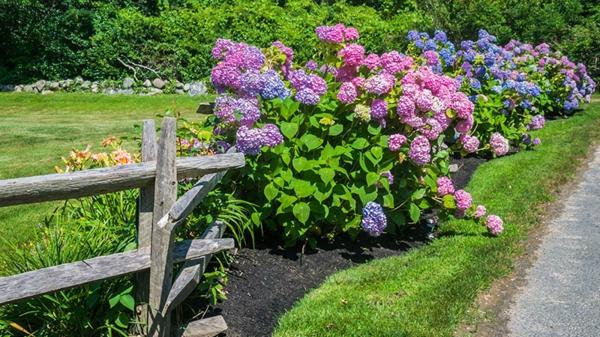 Wann blühen Hortensien Gründe Hortensien blühen nicht
