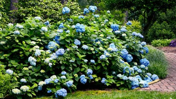 Wann blühen Hortensien Pflege verschiedene Hortensiensorten