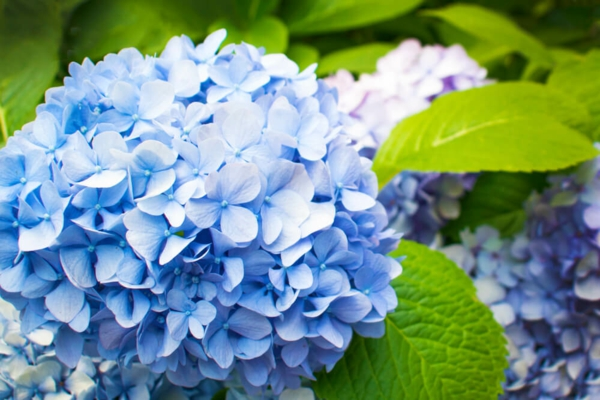 Wann blühen Hortensien blaue Hortensiensorte