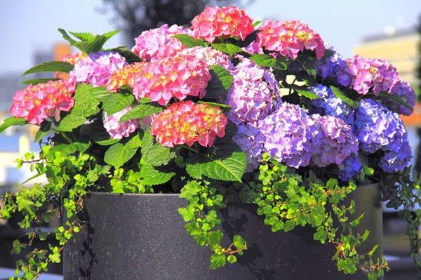 Wann blühen Hortensien richtige Pflege
