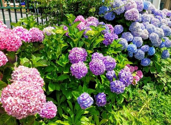 Wann blühen Hortensien verschiedene Gartenhortensien