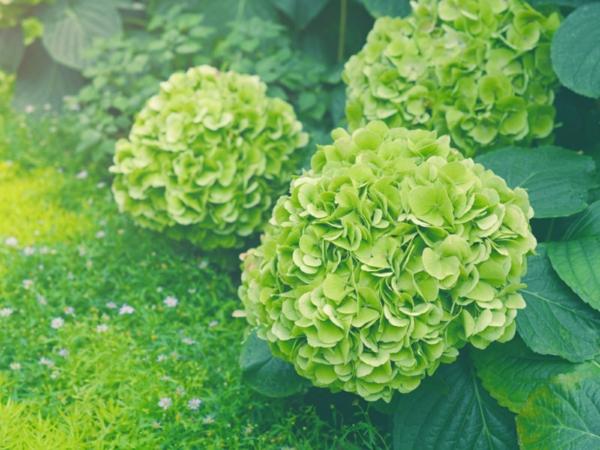 Wann blühen Hortensien verschiedene Hortensiensorten Gartenpflanzen