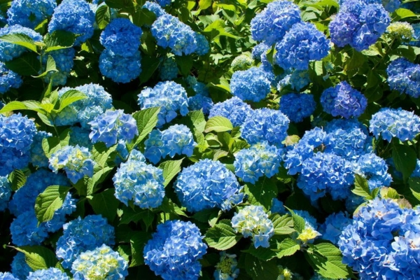 Wann blühen Hortensien verschiedene Hortensiensorten pflegen