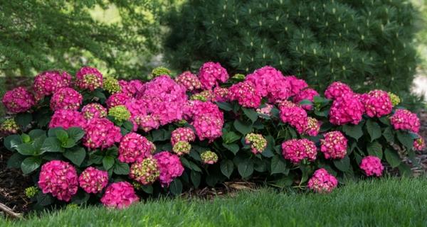 Wann blühen Hortensien verschiedene Hortensiensorten