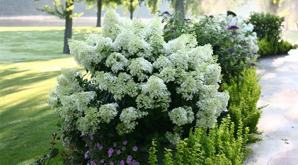 Wann blühen Hortensien warum blühen Hortensien nicht
