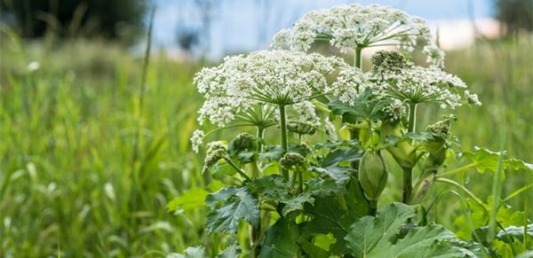 bärenklau heracleum pflanze giftig