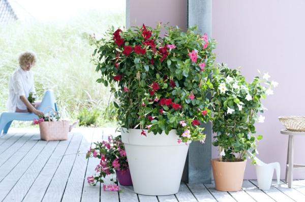 balkonpflanzen dipladenia mandevilla tipps
