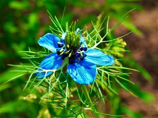 blaue blüte jungfer im grünen