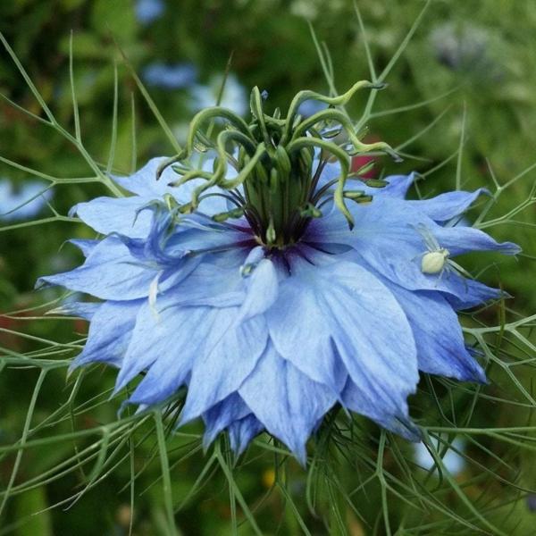 blaue blüte von jungfer im grünen
