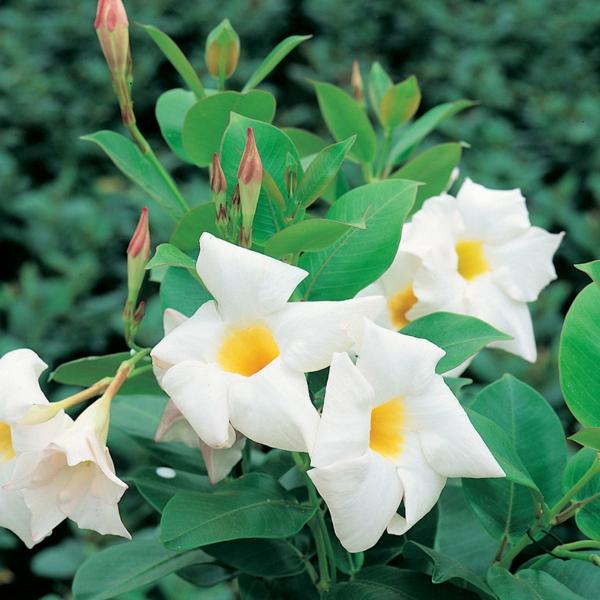 dipladenia mandevilla boliviensis weiße blüten