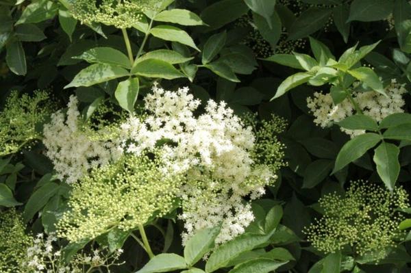holunderblüten pflanze wirkung gesund