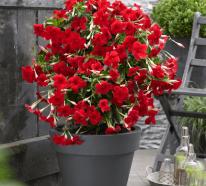 Dipladenia richtig pflegen und ihre exotische Blütenpracht genießen
