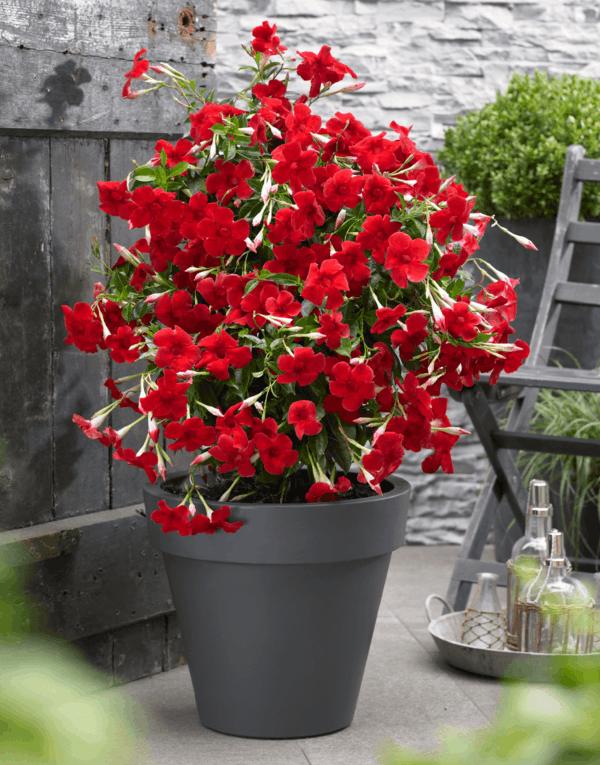 kübelpflanze mandevilla dipladenia auf dem balkon