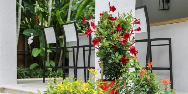 mandevilla auf terrasse pflegen
