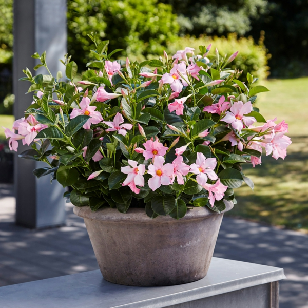 mandevilla balkonpflanze pflegen tipps