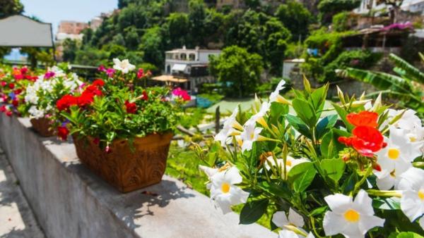 mandevilla dipladenia balkonpflanze