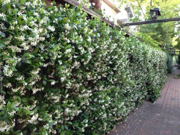 natürlicher datenschutz blühende hecke jasmin