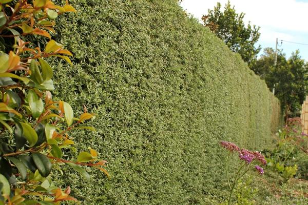 natürlicher Sichtschutz Gartenhecke regelmäßig Pflegetipps