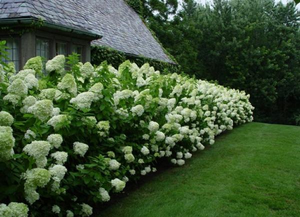 natürliche Sichtschutz-Hortensie dekorative Sichtschutz-Ideen