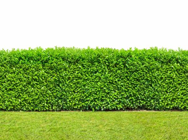 Natürlicher Sichtschutz immergrüne Gartenhecke Vorteile