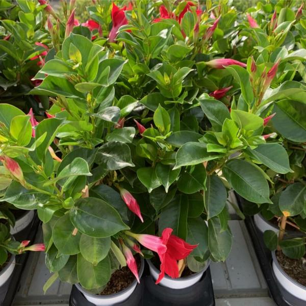 sundaville sorte dipladenia pflanze