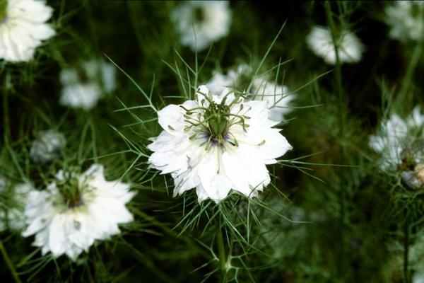 weiße blüten jungfer im grünen