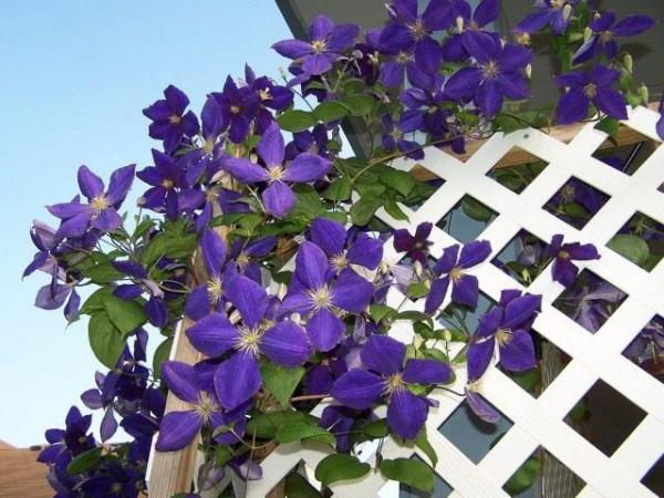 Balkonpflanzen für Faule Clematis lila Blüten toller Blickfang auf dem Balkon oder im Garten