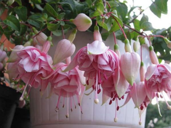 Balkonpflanzen für Faule Fuchsien rosa Blüten im weißen Topf an einem schattigen Standort