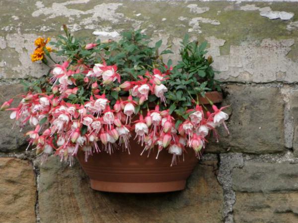 Balkonpflanzen für Faule Fuchsien wunderschöne rosa Blüten im Blumenkasten an einer Steinwand