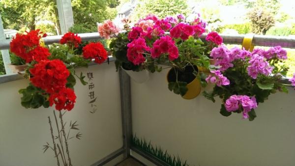 Balkonpflanzen für Faule Geranien in Töpfen am Balkongeländer gefestigt blühen in Rot Rosa Pink Violett