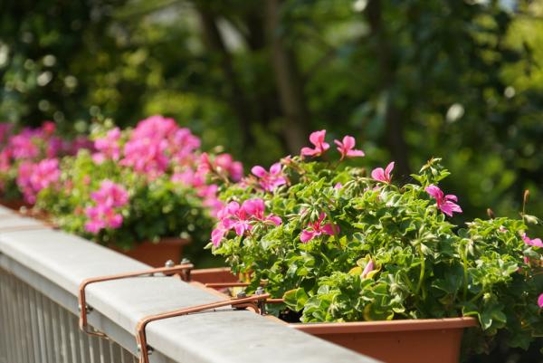 Balkonpflanzen für Faule Geranien rosa Blüten in Balkonkästen am Balkongeländer