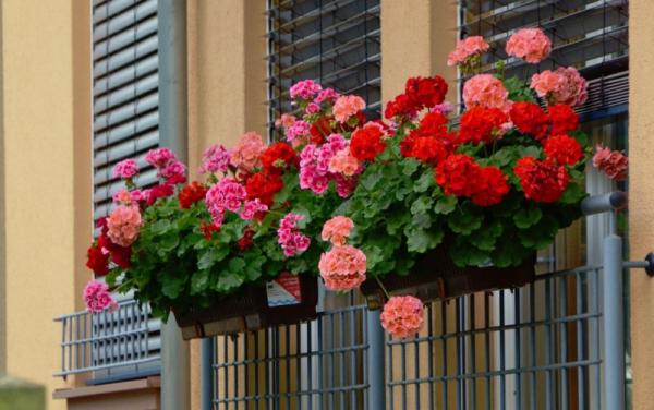 Balkonpflanzen für Faule Geranien rosa pink rote Blüten in Balkonkästen am Geländer