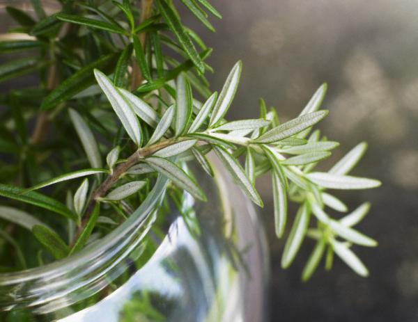 Balkonpflanzen für Faule Rosmarin dünne grüne Blätter natürlicher Schutz vor Insekten