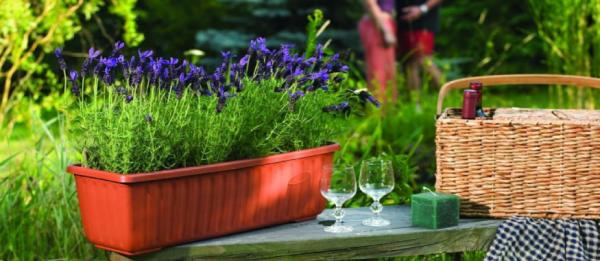 Balkonpflanzen für Faule fein duftender Lavendel im Kasten schützt vor lästigen Insekten