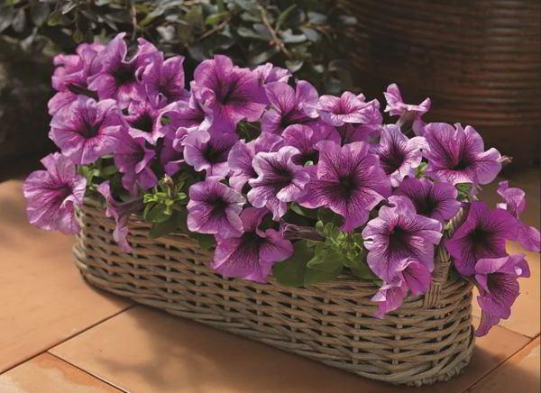 Balkonpflanzen für Faule lila Petunien im Blumenkasten einjährig keine Überwinterung