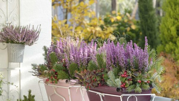 Balkonpflanzen für Faule lila blühender lavendel in Kästen mit Sukkulenten und anderen Balkonblumen kombiniert