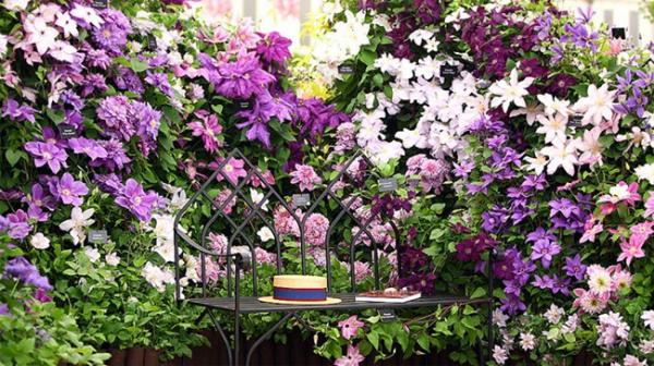 Balkonpflanzen für Faule schöne Clematis zarte Blüten in Weiß und verschiedenen Lila Nuancen