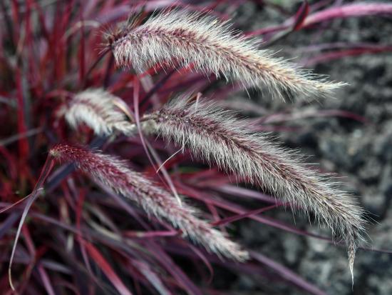 Lampenputzergras ährenähnliche Blüten Ende September