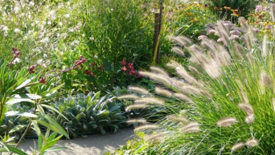 Lampenputzergras im Garten an einem sonnigen Standort braucht im Sommer viel Wasser