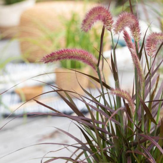 Lampenputzergras im Spätsommer buschig weiche Blütenähren üppige schmale grüne Blätter