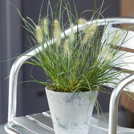 Lampenputzergras im Topf einjährige Pflanze lieber im Wintergarten überwintern