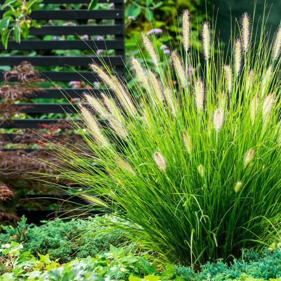 Lampenputzergras in voller Blütenpracht im Garten üppiges Grün ährenähnliche Blüten
