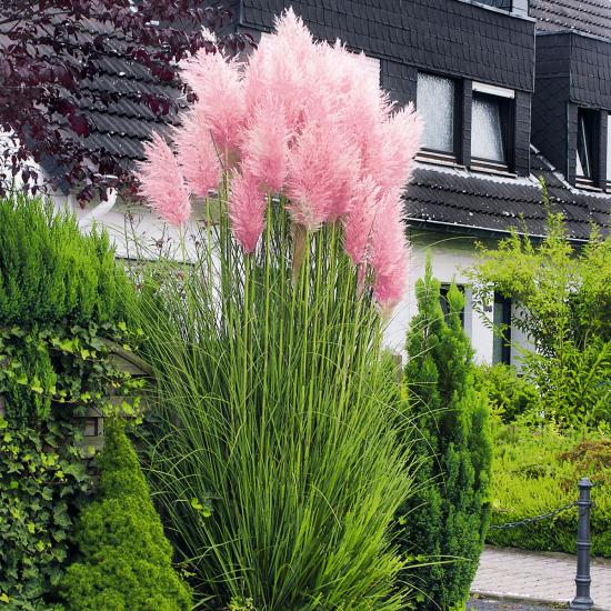 Lampenputzergras rosa Blütenähren richtiger Hingucker im Garten ca. 150 cm hoch