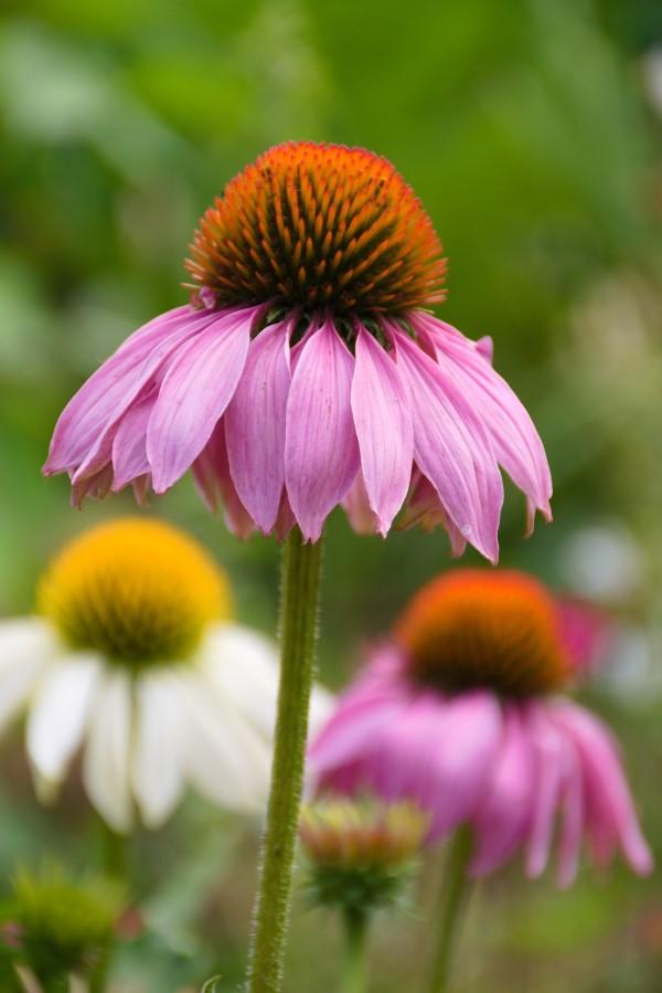 Sonnenhut Pflanze – Wissenswertes und Pflege Tipps rund um den Sommerblüher echinacea schön blume