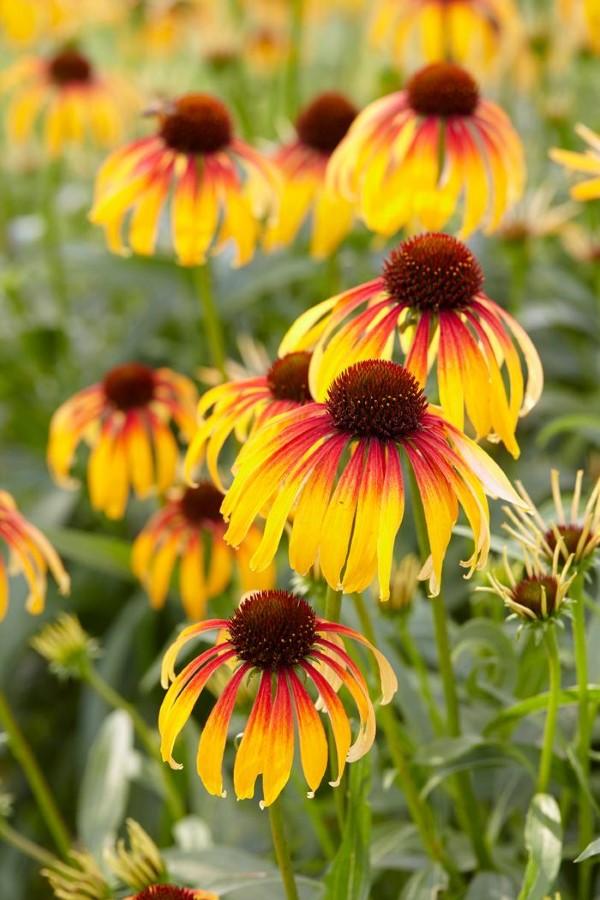 Sonnenhut Pflanze – Wissenswertes und Pflege Tipps rund um den Sommerblüher feurig mehrfarbig sorte